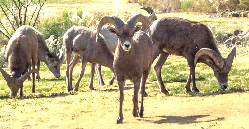 2013-11-27 Big Horn Sheep-1-5