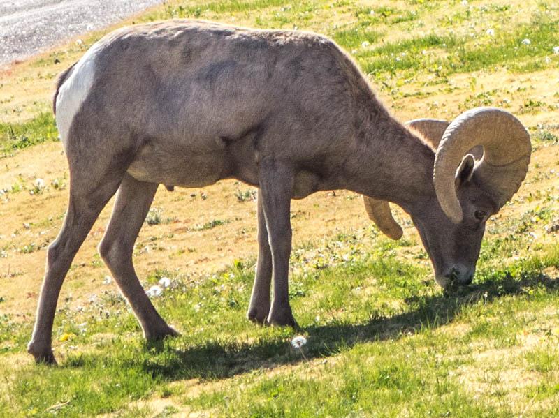 2013-11-27 Big Horn Sheep-1-8