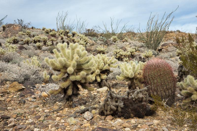 Anza Borrego Cholla Cactus & Ocotillo