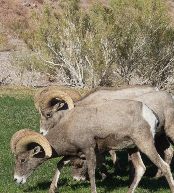 talking to bighorn sheep