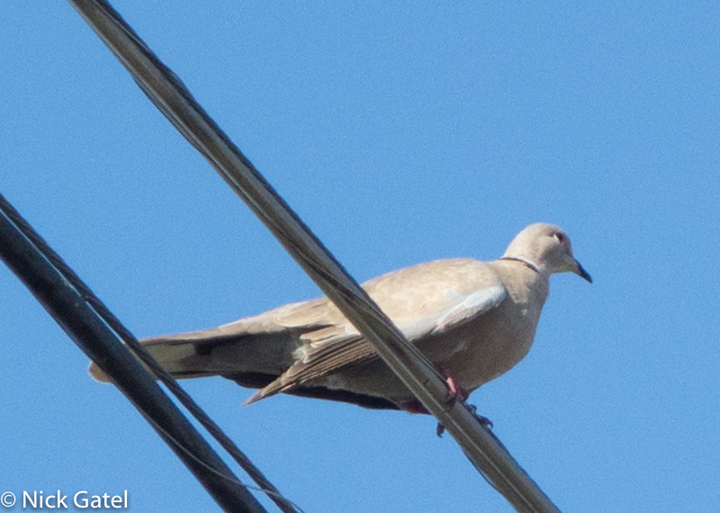 collared-dove-1