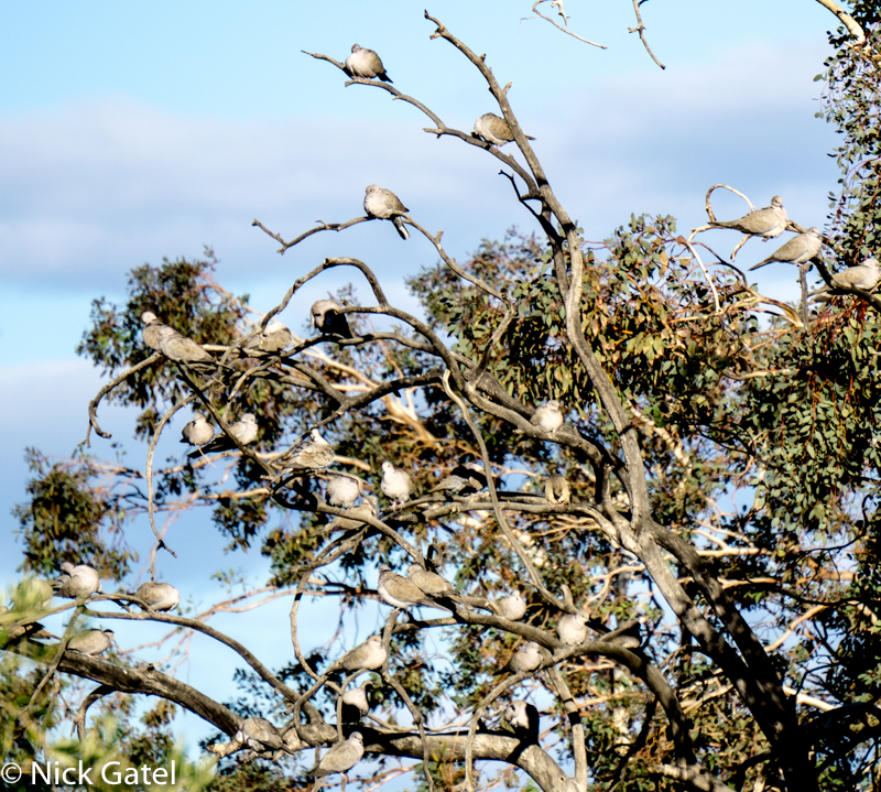 flock-of-collared-doves-lake-mead-nra